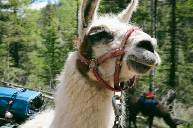 hiking with llamas in new mexico